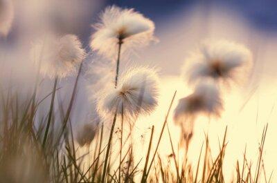 Fototapeta Polarne kwiaty