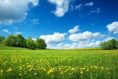Fototapeta Pole dandelions i błękitne niebo