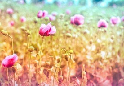Fototapeta Pole fioletowymi kwiatami maku