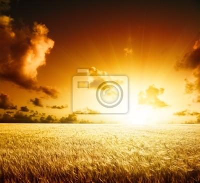 Fototapeta pole jęczmienia i słońca