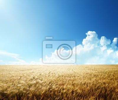 pole jęczmienia i słoneczny dzień