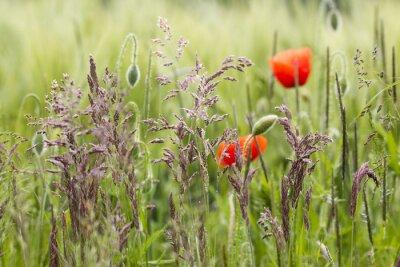 Fototapeta pole jęczmienia z trawy i dzikich maków