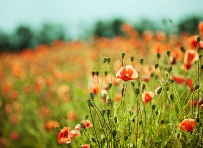 Fototapeta Pole kwiatów