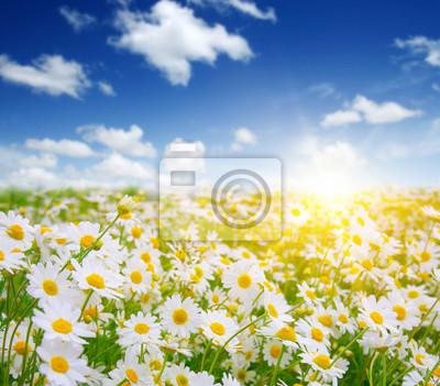 pole kwiatów daisy