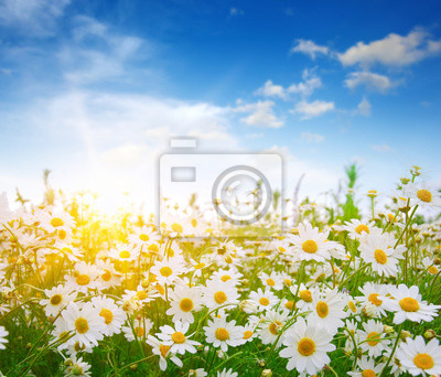 pole kwiatów stokrotki