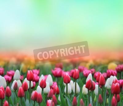 Fototapeta Pole piękne tulipany