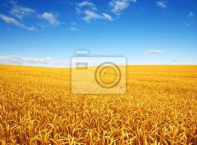 pole pszenicy i chmury