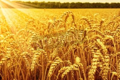 Fototapeta Pole pszenicy i słońce