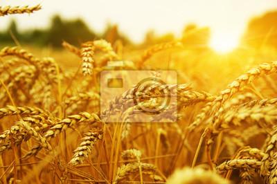 Pole pszenicy na słońcu.