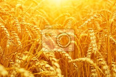 Pole pszenicy na słońcu