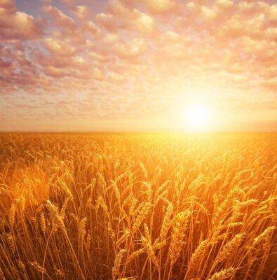 Fototapeta Pole pszenicy w pochmurne niebo