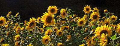 Fototapeta pole słonecznika