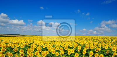 Pole słoneczników kwitnących