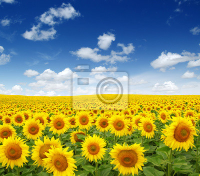 pole słoneczników na niebie