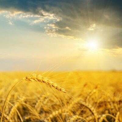 Fototapeta pole z złota uszy pszenicy w słońca