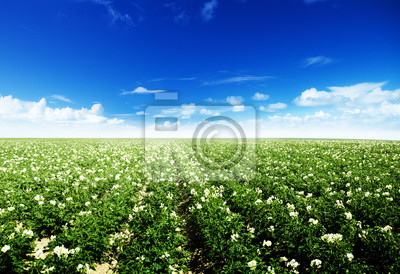 pole ziemniaków
