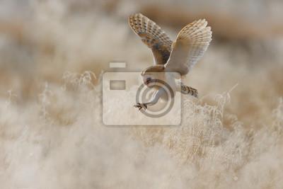 Fototapeta Polowanie Barn Owl w porannej ładne światło