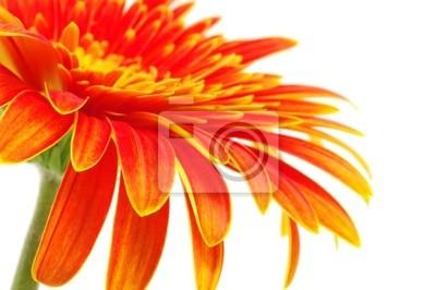 Fototapeta pomarańczowy gerbera