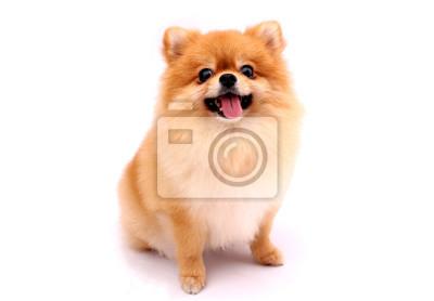 Fototapeta Pomeranian dog on a white background.