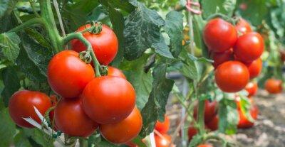 Fototapeta Pomidor wzrostu