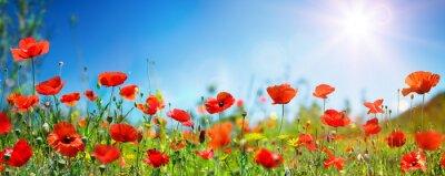 Fototapeta Poppies In Field In Sunny Scene With Blue Sky