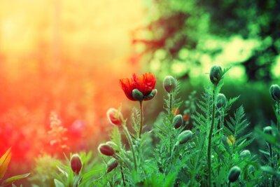 Fototapeta Poppy dziedzinie o zachodzie słońca