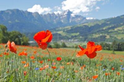 Fototapeta Poppy flowers background mountains