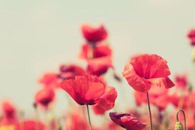 Fototapeta Poppy flowers retro peaceful summer background