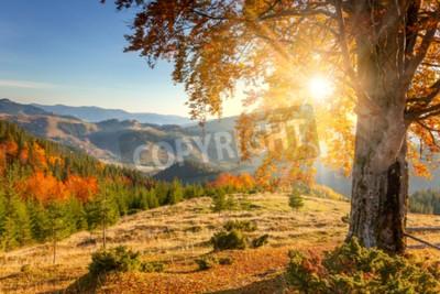 Fototapeta Poranny Jesienny krajobraz - żółty stare drzewo przed słońcem, zakres gór - piękne spadek sezonu