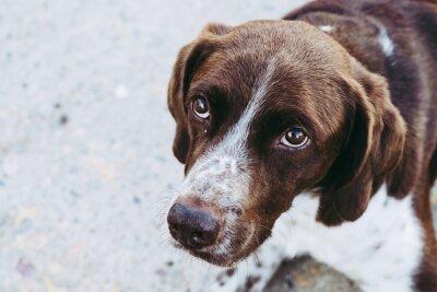 Fototapeta Portrait d'un chien de chasse de race épagneul