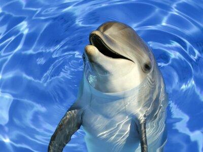 Fototapeta Portrait d'un delfin commun