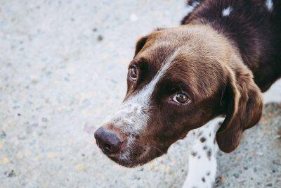 Fototapeta Portrait d'un épagneul marron au regard intense