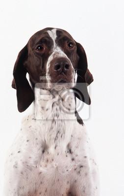 Fototapeta portrait de Braque français en studio