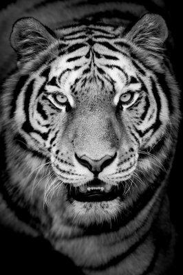 Fototapeta Portrait de tigre