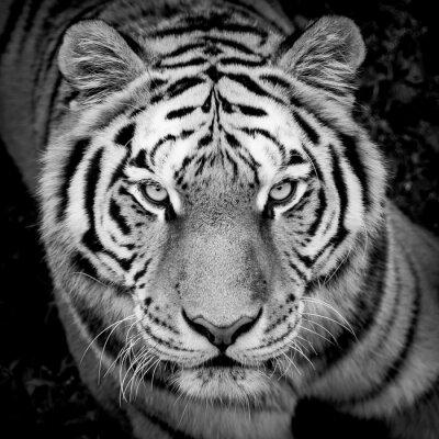 Fototapeta Portrait de tigre en noir et blanc