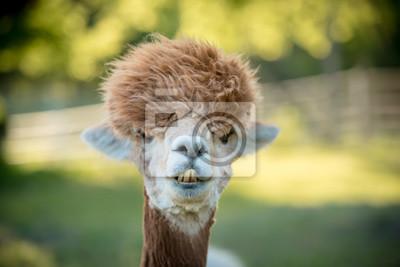 Fototapeta portrait of a alpaca, isolated face. cute funny expression