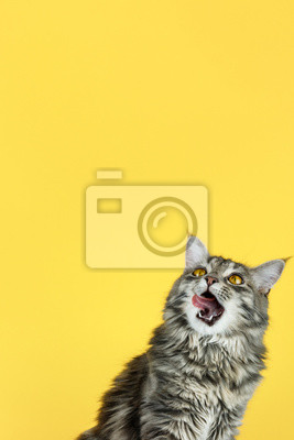 Fototapeta Portrait of a cat looking up in front of a yellow background