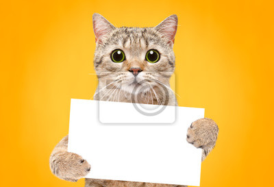 Fototapeta Portrait of a cat Scottish Straight with a banner in paws on a orange background