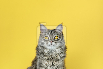 Fototapeta Portrait of a cat with a camera look in front of a yellow background