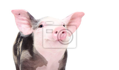 Fototapeta Portrait of a cute cheerful pig isolated on white background