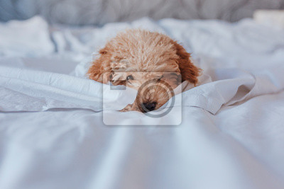 Fototapeta portrait of a Cute toy poodle standing on bed and looking at the camera, daytime, indoors.