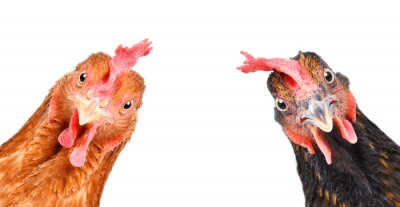 Fototapeta Portrait of a  funny chickens, closeup, isolated on white background