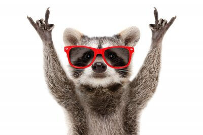 Fototapeta Portrait of a funny raccoon in red sunglasses showing a rock gesture isolated on white background
