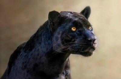 Fototapeta portrait of a jaguar
