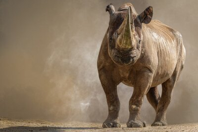 Fototapeta portrait of a large african rhino standing in front of a brown background