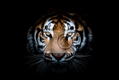 Fototapeta Portrait of a Tiger with a black background