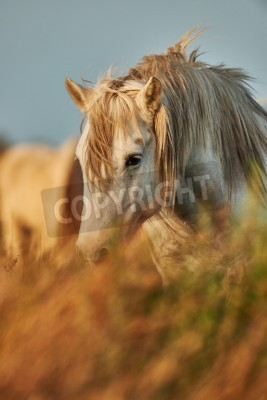 Fototapeta Portrait of a white horse of the Camargue partially hidden by tall grass