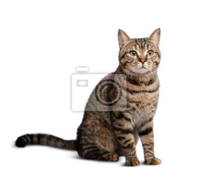 Fototapeta Portrait of beautiful grey cat on white background