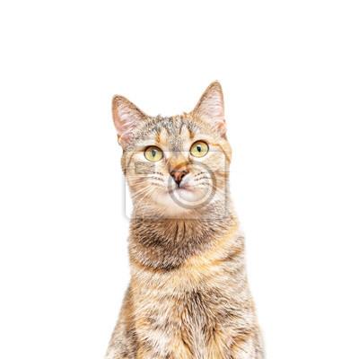 Fototapeta Portrait of tabby ginger cat pet looking at camera.