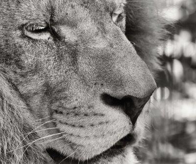 Fototapeta Portret Barbary lwa (Panthera leo leo)